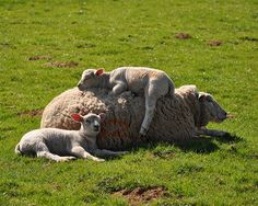 sheep...perfect place for a nap