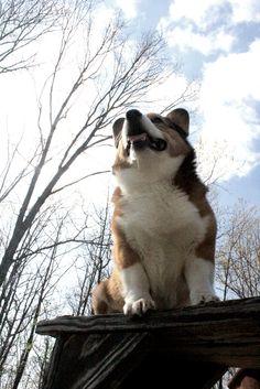 Cooper Corgi Human Personality, Dog Suit, Corgi Pictures, Cardigan Welsh Corgi, Corgis, Little Dogs, Ocd, Cute Puppies, Cute Animals