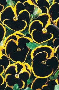 Pansy 'Sunlight Eclipse'~ black with yellow edges