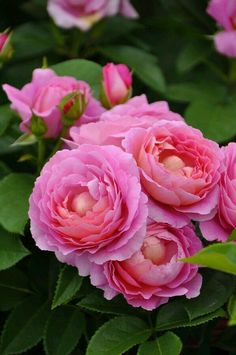 Rosas bellas  Google+