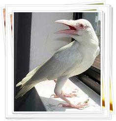 Beyaz Kuzgun