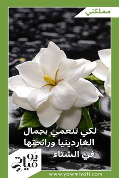 زهرة الغاردينيا من النباتات الدائمة الخضرة، ويمكن أن تزهر في فصل الشتاء إن نالت العناية اللازمة. من الصعب تربية الغاردينيا داخل المنزل، لكنّ ذلك ليس مستحيلاً، إن توفرت الرطوبة اللازمة، والإضاءة القويّة غير المباشرة، والتربة المرويّة بشكل مناسب.