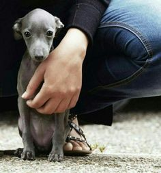 Lookit this little one. An Italian Greyhound puppy. Cute Baby Animals, Animals And Pets, Funny Animals, Wild Animals, Cute Puppies, Cute Dogs, Dogs And Puppies, Doggies, Beautiful Dogs
