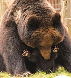 Momma and baby bear. Cute Baby Animals, Animals And Pets, Funny Animals, Bear Pictures, Cute Animal Pictures, Beautiful Creatures, Animals Beautiful, Photo Animaliere, Love Bear