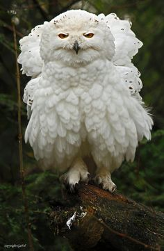 Snowy owl - title Kein Engel (German) = No Angel - by GaFel