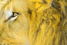 Leijona Silmä, Pää, Villieläimet, Luonne, Kissaeläin