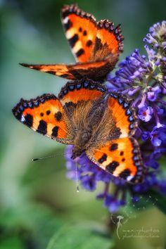 Butterfly - Little Fox by Astrid Carnin on 500px