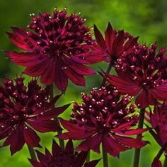 (Astrantia major) 'Venice'