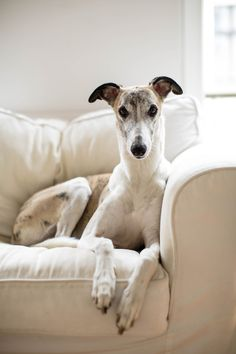 "handsomedogs: ""Jarkko Heinonen | A whippet boy Jymy sitting on a chair in our Berlin apartment """