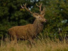 Red Deer - The red deer (Cervus elaphus) is one of the largest deer species.