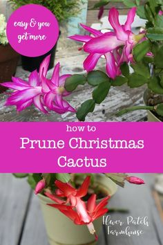 Prune Christmas Cactus - How to Prune Christmas Cactus for a bushier and healthier plant. And/or keep it a manageable size! -easy Prune Christmas Cactus - How to Prune Christmas Cactus for a bushier and healthier plant. And/or keep it a manageable size! Christmas Cactus Plant, Easter Cactus, Cactus Flower, Cactus Cactus, Flower Bookey, Flower Film, Indoor Cactus, Small Cactus Plants, Gardening