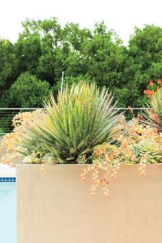 The spiky form and curling threads of Agave filifera give this planting a fascinating foundation, while the coral-flowering succulent Echeveria 'Lola' adds beautiful soft color that complements the powder-coated aluminum container.