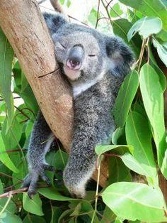 i ♥♥♥♥ koalas. I had a hard day.