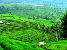 The Jatiluwih Rice Fields: a UNESCO Cultural Landscape. No photo can ever does justice to the beauty of this place. You just have to see it!  A tip from our concierge - There is a small warung overlooking the rice paddies on both sides that serves a fantastic Ayam Betutu (spicy lemongrass grilled chicken).