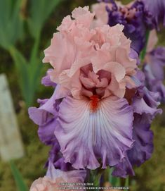 TB Iris germanica 'Marrying Kind' (Keppel, 2015)