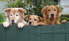Three golden retrievers on fence frozen food delivery program
