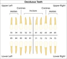 Dental numbering or notation systems provide the dentists with a standard method for referring to particular teeth. WellnessKeen presents dental charts to understand tooth numbering systems. Dental Quotes, Dental Facts, Dental Humor, Dental Assistant Study, Dental Hygiene Student, Dental Hygienist, Dental Life, Dental Teeth, Dental Charting