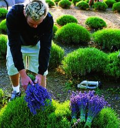 TIPS : Choosing plants : Look for cutting- grown, rather than seed-started, plants (most nurseries can provide this information), especially for hedges, since the ultimate size of seed-grown lavender