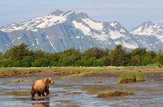 katmai national park and preserve   Brown bear at Hallo Bay, Katmai National Park and Preserve, Alaska ...
