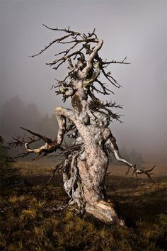 Gnarled Goddess - Crater Lake National Park I love this! Maybe I could call myself a gnarled goddess. Weird Trees, Crater Lake National Park, Old Trees, Unique Trees, Nature Tree, Tree Forest, Plantation, Tree Art, Natural Wonders