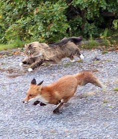 Norwegian Forest Cat chasing a Fox.