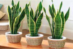 Tener estas plantas en tu cuarto te ayudará a dormir mejor Indoor Plants Low Light, Best Indoor Plants, Cool Plants, Live Plants, Cactus Plants, Outdoor Plants, Inside Plants, Sansevieria Trifasciata, Plantas Indoor