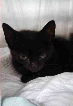 MEZZE - A1117871 - - Brooklyn  ***TO BE DESTROYED 07/13/17***NINE WEEK OLD KITTEN…GREAT BEHAVIOR RATING…MEZZE was brought in by someone who found him on the side of the road and said he was hit by a car.  He has some wounds on his forelimb and possible trauma – needs a home and some follow up vetting. -  Click for info & Current Status: http://nyccats.urgentpodr.org/mezze-a1117871/
