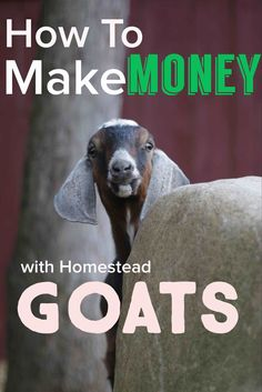 Goats can earn money for your homestead! Find out how in this podcast! Keeping Goats, Raising Goats, Female Goat, Happy Goat, Goat Care, Nigerian Dwarf Goats, Goat Farming, Baby Goats, Hobby Farms