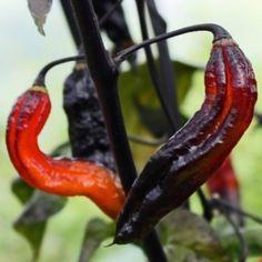 Neu! Chili Rouge Noir (Schärfe 10) (Pflanze)