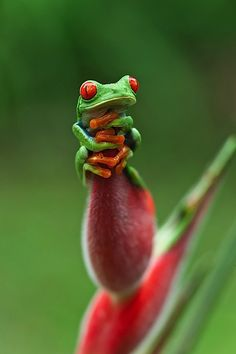 Just hanging around. I miss my red eyed tree frogs. They are such interesting, beautiful creatures. Cute Wild Animals, Animals And Pets, Baby Animals, Funny Animals, Funny Frogs, Cute Frogs, Les Reptiles, Reptiles And Amphibians, Beautiful Creatures