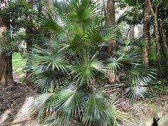 Livistona Australia. Cabbage Tree Palm. over 10m high ...
