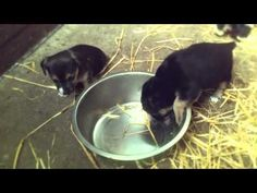 puppies on straw
