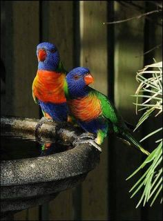 This is without a doubt one of the most beautiful birds in the world. Some name it THE most beautiful. The rainbow lorikeet deserve its name:for , the colors Rare Birds, Exotic Birds, Colorful Birds, Most Beautiful Birds, Pretty Birds, Beautiful Creatures, Animals Beautiful, Animals And Pets, Cute Animals
