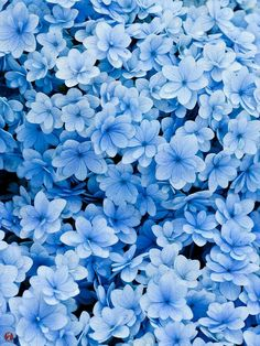 Good Snap Shots Blue Flowers hydrangea Thoughts Are you keeping a garden inside your yard? A person undoubtedly purpose to restore perky and even more intere Light Blue Aesthetic, Flower Aesthetic, Blue Aesthetic Grunge, Rainbow Aesthetic, Aesthetic Colors, Aesthetic Gif, Aesthetic Photo, Aesthetic Pictures, Aesthetic Clothes