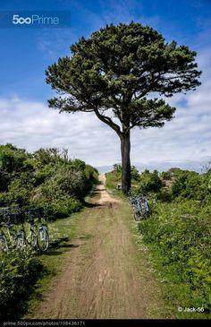 Le pin de la plage des Grands Sables sur l'île de Groix.