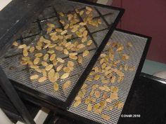 Drying Sultanas: Thompson Seedless Grapes