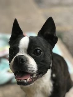 My neighbors Boston Terrier. Hes a lot of fun! #dogs #pets #dog #Adopt #love #cute #animals #puppy