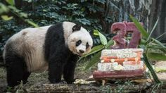 Giant panda Jia Jia stands next to her cake made of ice and fruit juice to mark her 37th birthday at an amusement park in Hong Kong on July 28, 2015
