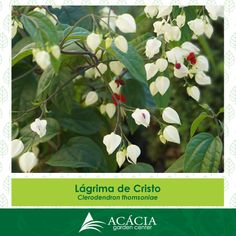 140710-lagrima-de-cristo-ficha-foto-web-acacia-garden-center-so-foto