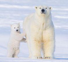 Osos polares en la costa ártica de Alaska.