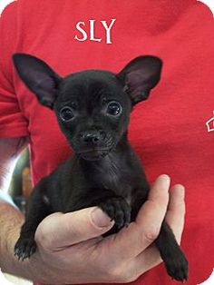 Bedminster Nj Schnauzer Miniature Chihuahua Mix Meet Freddie