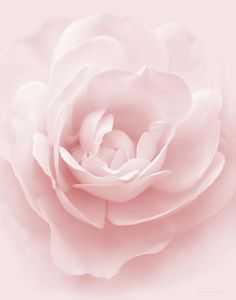 Soft Whispers Pink Rose Flower Photograph