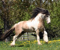 Beautiful Gypsy Vanners | Beautiful Gypsy Vanner mares, stallions, fillies and colts for sale