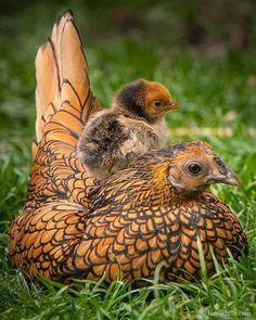 Que linda gallina y pollito.