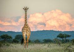 Standing Tall - Giraffe in Tanzania