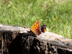 2 butterflies on log