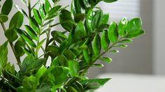 I když jeho jméno zní řecky, pochází rostlina z Madagaskaru (Zamiokulkas) Foto: Zz Plant, Plastic Pots, Glass Vase, Gardening, Interior, Flowers, Plants, Decor, Decoration