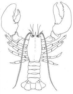 how to draw a lobster | Lobsters will regenerate a claw if it is broken off, but it takes some ...