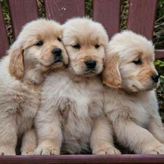 Mind Blowing Facts About Labrador Retrievers And Ideas. Amazing Facts About Labrador Retrievers And Ideas. Cute Dogs And Puppies, I Love Dogs, Doggies, Doggie Beds, Puppies Puppies, Chihuahua Dogs, Cute Baby Animals, Animals And Pets, Chien Golden Retriever