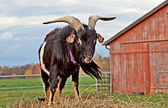 Heritage breed: Arapawa goats are perfect for homesteading Keeping Goats, Raising Goats, Farm Animals, Animals And Pets, Rodale's Organic Life, Garden Solutions, New England Homes, Farm Gardens, Urban Farming